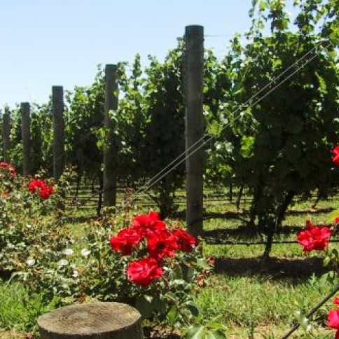 Why are Roses in the Vineyards?