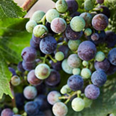 Veraison: When Grapes Turn Red